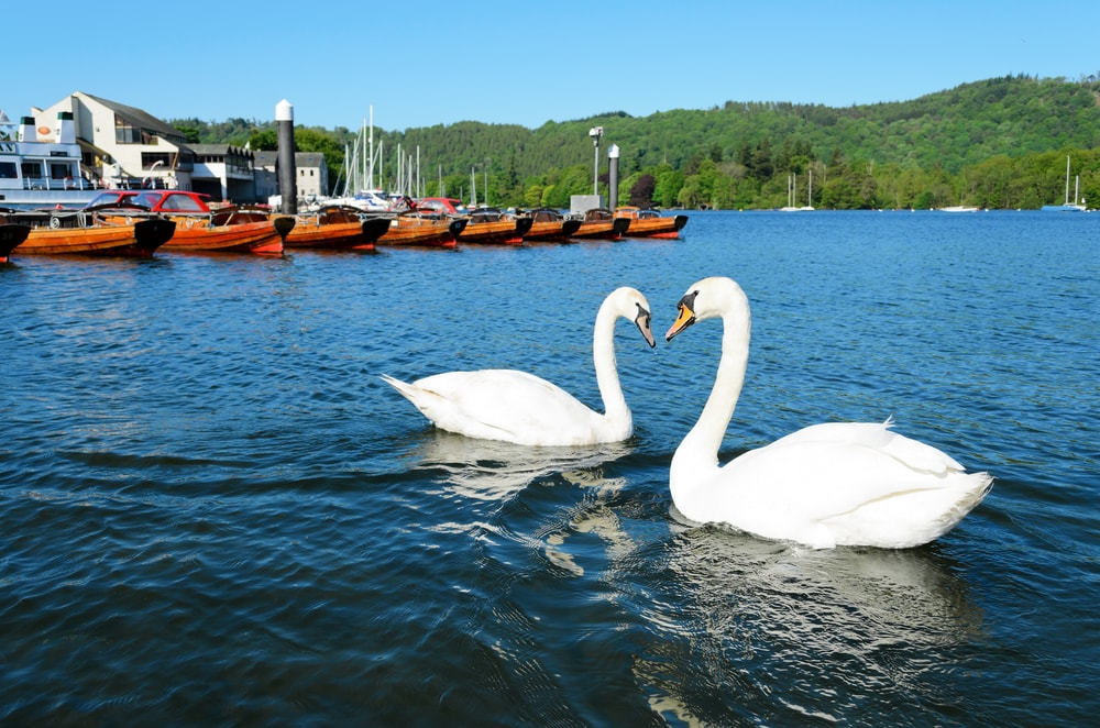swans on lake windermere